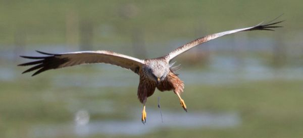 Marsh Harrier (Circus aeruginosus).
